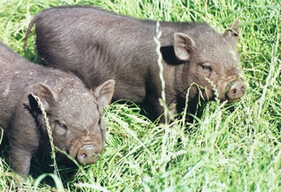 Vietnames Pot Bellied Pigs